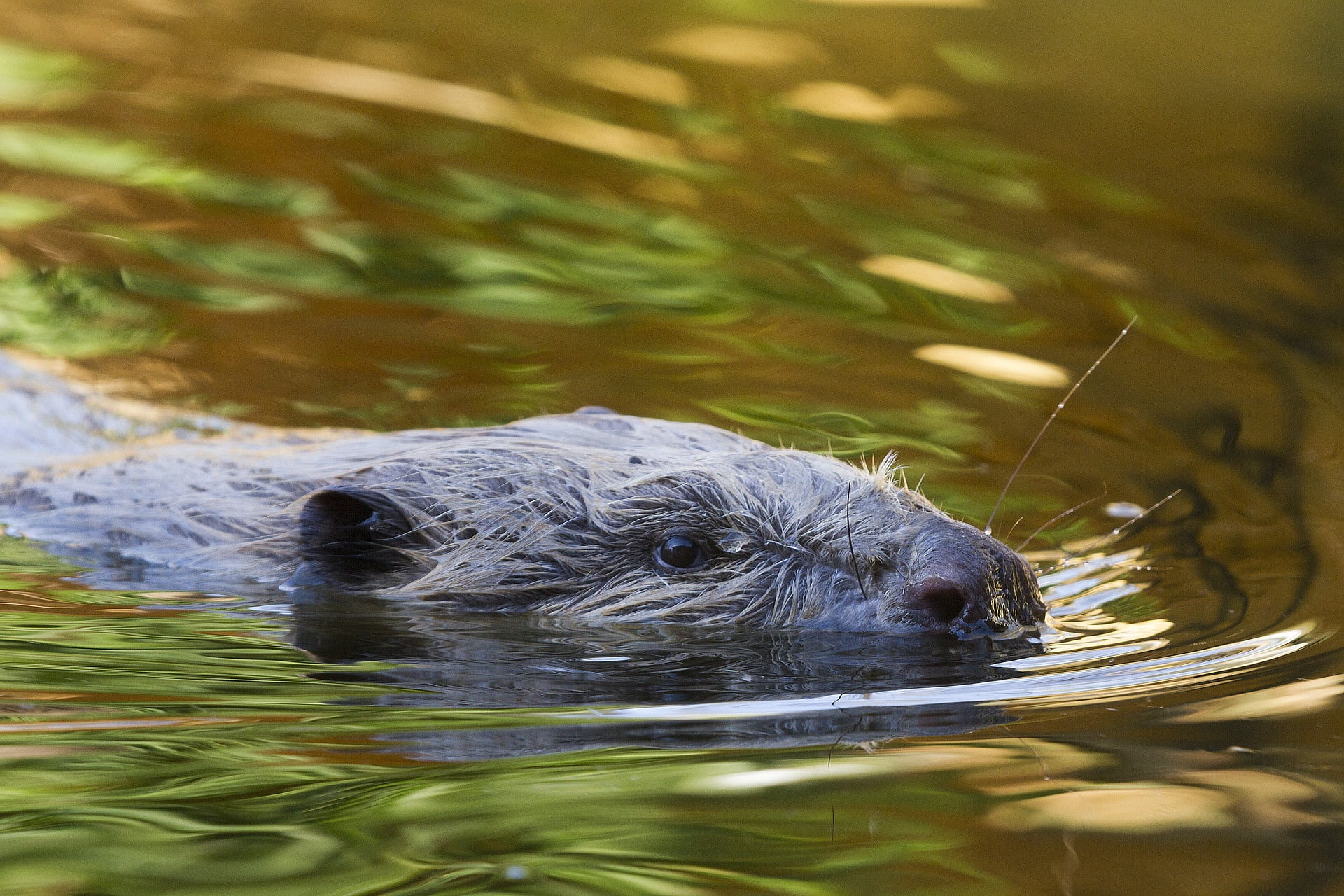 Guided Beaver Tours – great fun!