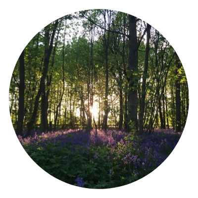 The sun sets through the trees over a forest floor of bluebells
