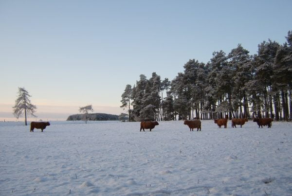 Highland cows in Perthshire in a snow covered field at sunrise