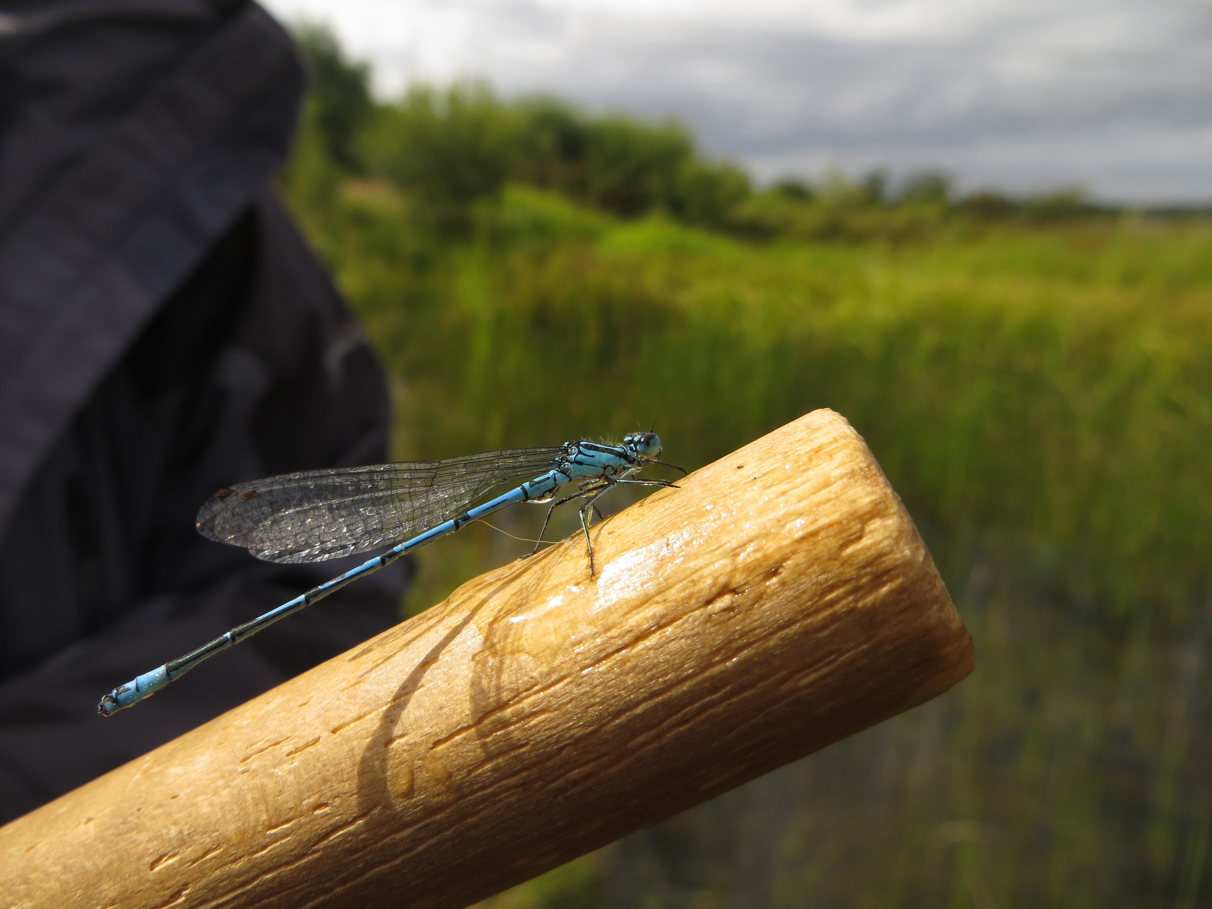 Have you seen any Dragonflies?