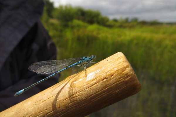 Azure damsefly on a wooden pole