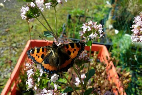 Painted lady butterfly on a pale pink flower