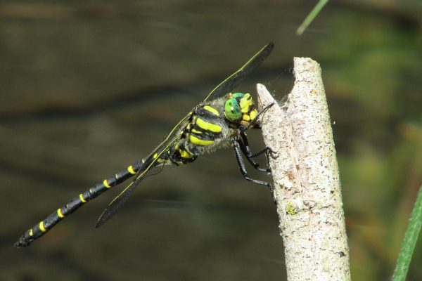Black and yellow dragonfly on a thin branch