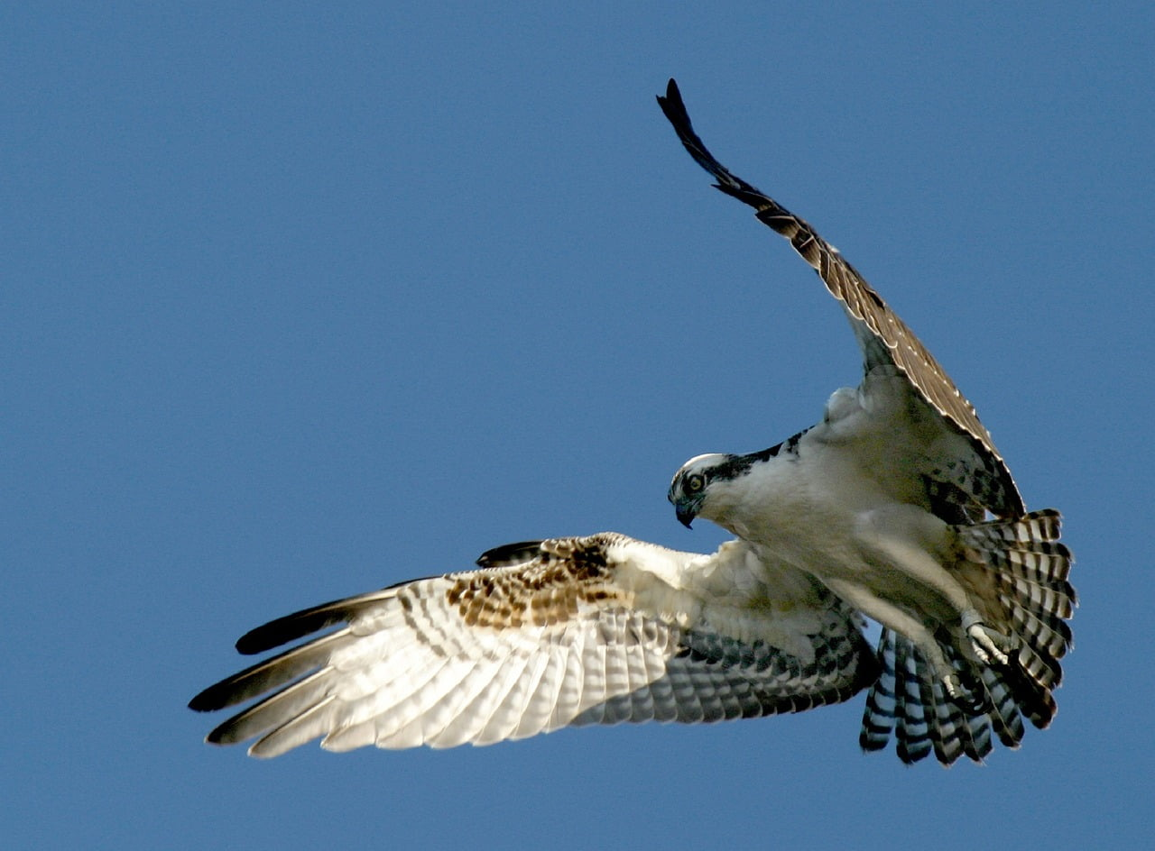 Ospreys, sand martins and swallows